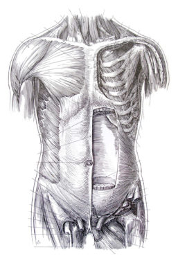 Illustration by Tom Jones, founder of the AMI and UIC's biomedical visualization program, of human torso muscle tissues in black and white